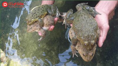 Chọn giống ếch to khỏe không bệnh dị tật để thả nuôi.