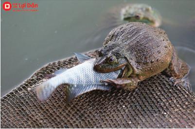 Cho ếch ăn cá sống, nhỏ tương ứng với trọng lượng cơ thể.