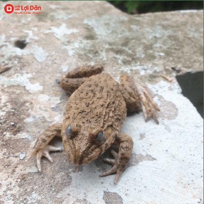 Bệnh mù mắt ở ếch.