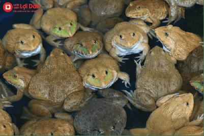 Nuôi ếch trong hồ xi măng mang lại hiệu quả kinh tế cao.