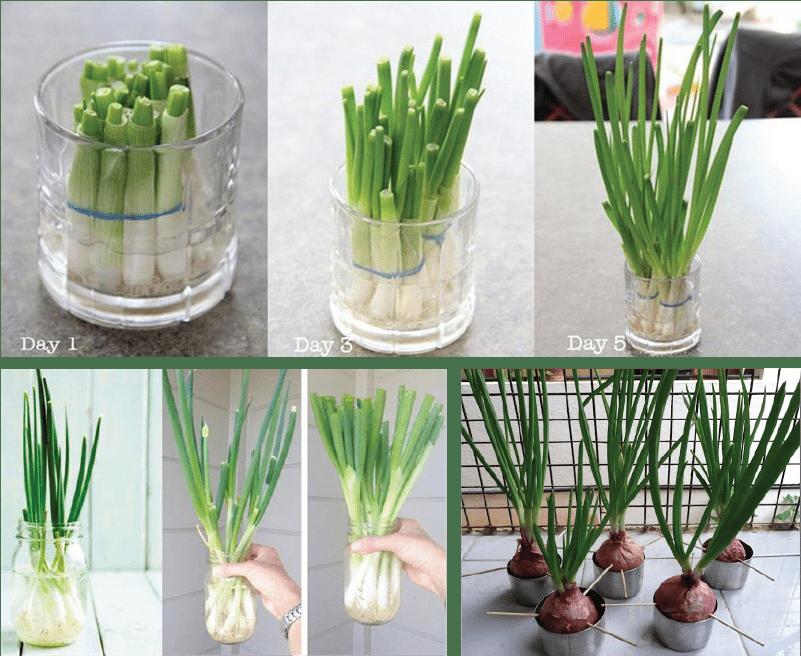 Hình ảnh thực tế cách trồng hành lá thủy canh.