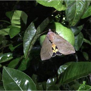 Bướm đêm cũng là một loài côn trùng phá hoại cho Cam.