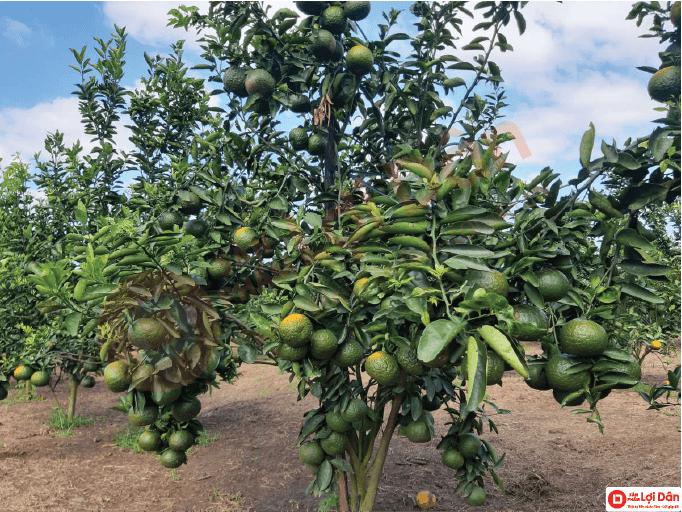 Cây sai trái, trái to đẹp chất lượng đạt chuẩn xuất khẩu, nhờ áp dụng công nghệ cao vào mô hình trồng cam.