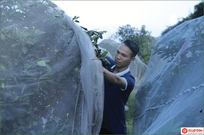 Kiểm soát sự ra hoa để tăng khả năng đậu trái và tăng chất lượng trái khi đậu.