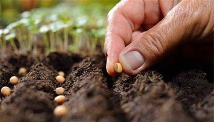 Tiến hành gieo hạt khi trồng rau tại nhà.