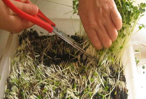 Thu hoạch rau cũng cần phải đúng kỹ thuật.