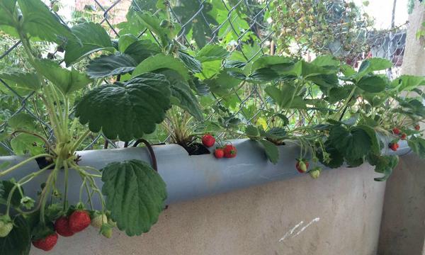 Cách làm giàn trồng rau bằng ống nhựa PVC.