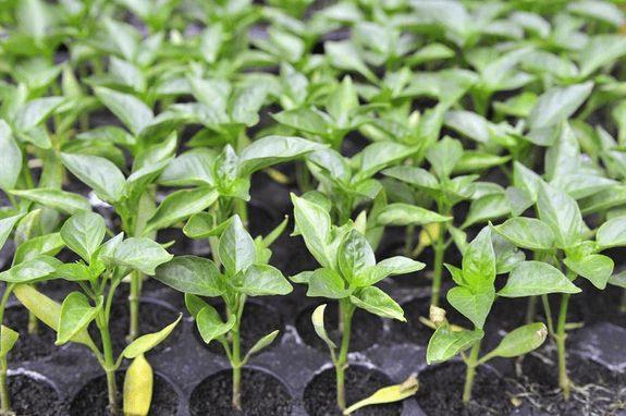 Cách trồng ớt hiệu quả cần lựa chọn cây giống tốt