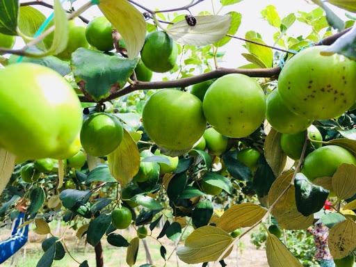 Quả táo bị ruồi vàng gây hại và hư hỏng