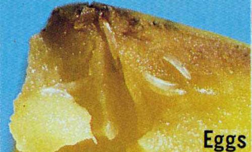 Hình ảnh trứng của ruồi vàng